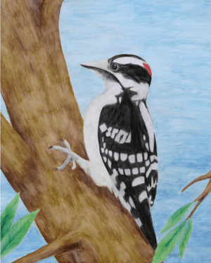 Downy Woodpecker Professional Prints of Watercolor Pencil Avian Totem Animal Fine Art