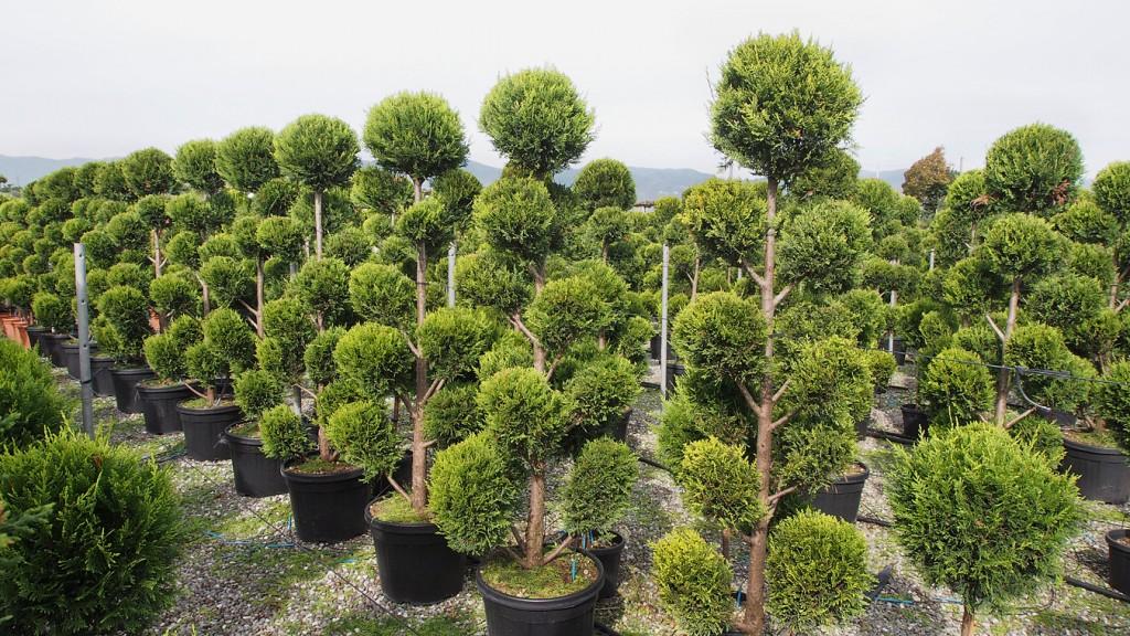 Pistoia Tree Nursery (North of Florence) Cloud Pruned Cupressocyparis Leylandii Gold