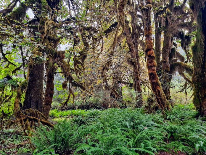 Moss covered old growth cedars with a bed of ferns below