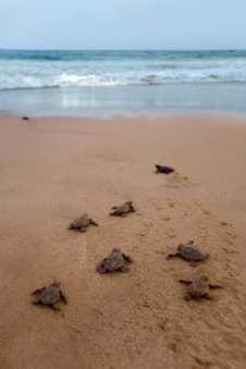 Loggerhead Sea Turtles, topsail Island, VRTG Gold Seal vacation rental Property