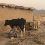 Nasiba milking her cow in Nurata (Sophie Ibbotson)