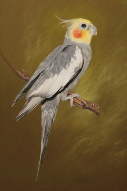 Pet portrait in Pastels of a cockatiel bird by Annabelle Valentine