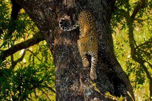 Leopard_Tree_AdF