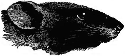 rat black