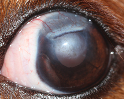 Figure 5 Same Patient As In 2 Approximately Months After The Surgery To Repair Ulcer Healthy Cornea And Conjunctiva Were Moved Towards