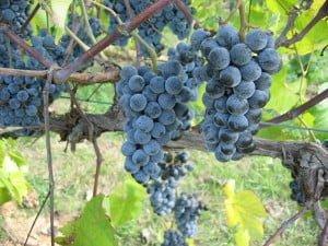 Norton Grapes on the Vine