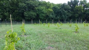 VineYard 1st Year
