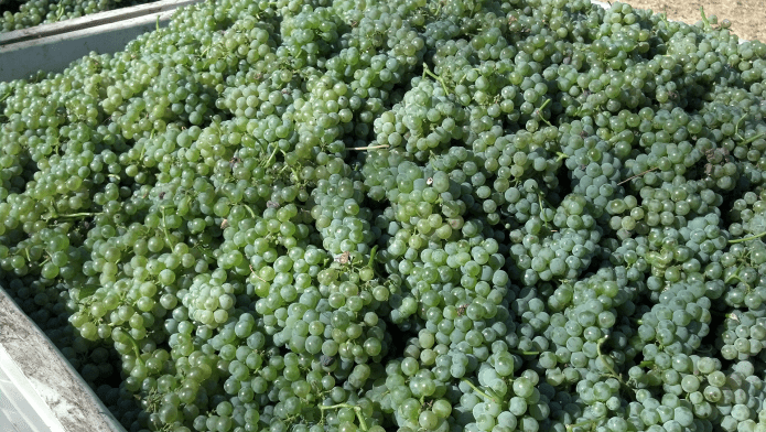 Sauvignon Blanc Grapes