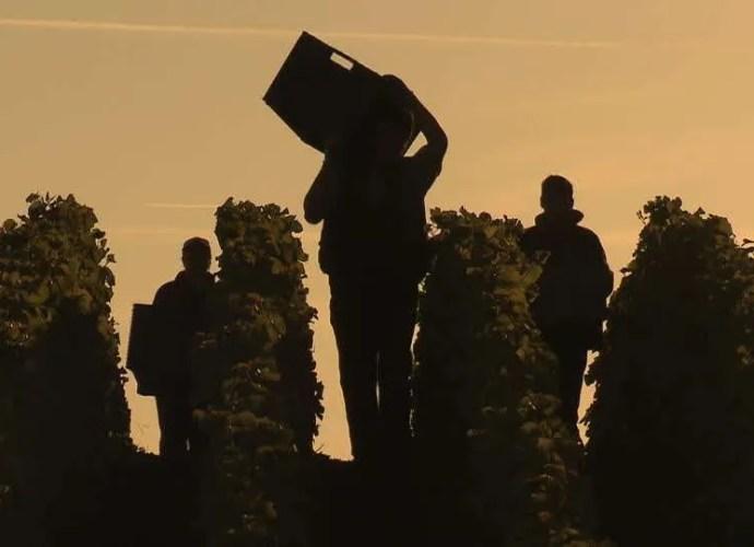 Champagne Harvest