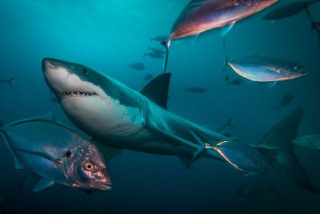 مئی 2015 ، نیپچون جزیرے ، جنوبی آسٹریلیا ، میں لیا جانے والی ایک بڑی سفید شارک ، مچھلی کی ایک کالی کے علاوہ تیراکی کرتی ہے۔