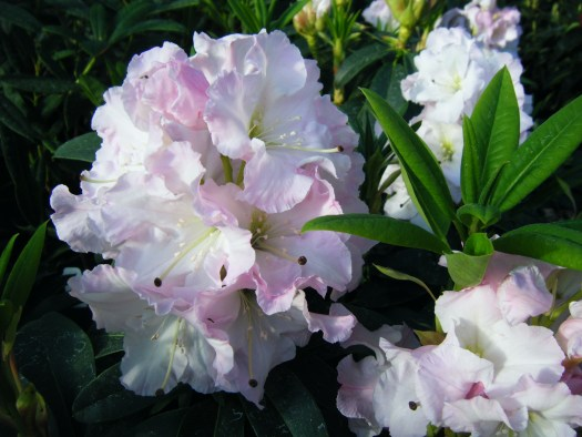 Rhododendron Jungfrau