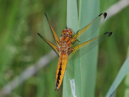 Scarce Chaser dragonfly, Libellula fulva