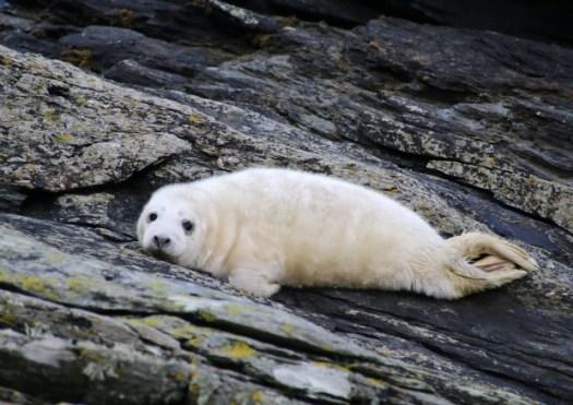 Seal Pup. Photo credit: Lara Howe