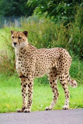 carl-the-male-cheetah-at-longleat