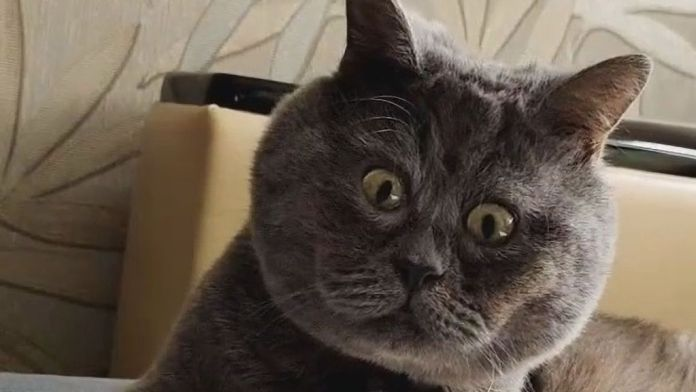 Fedya, a cat from Rostov, Russia, with a constantly surprising face, became a star on social networks. (@fedja_kot/Zenger)