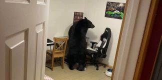 A giant black bear broke a window and entered a house in Fort McMurray in Northern Alberta in Canada in October 2021. (@sean.reddy.52/Zenger)