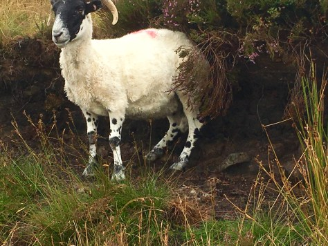 Sheep back scratcher.