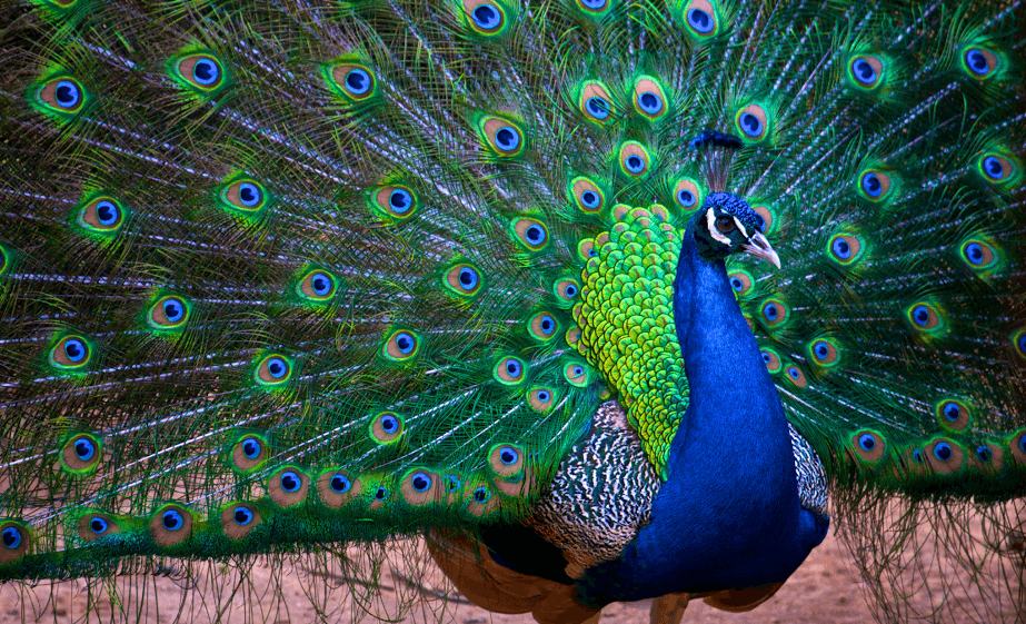 India Night: A Celebration Inspired by the Majestic Peacock