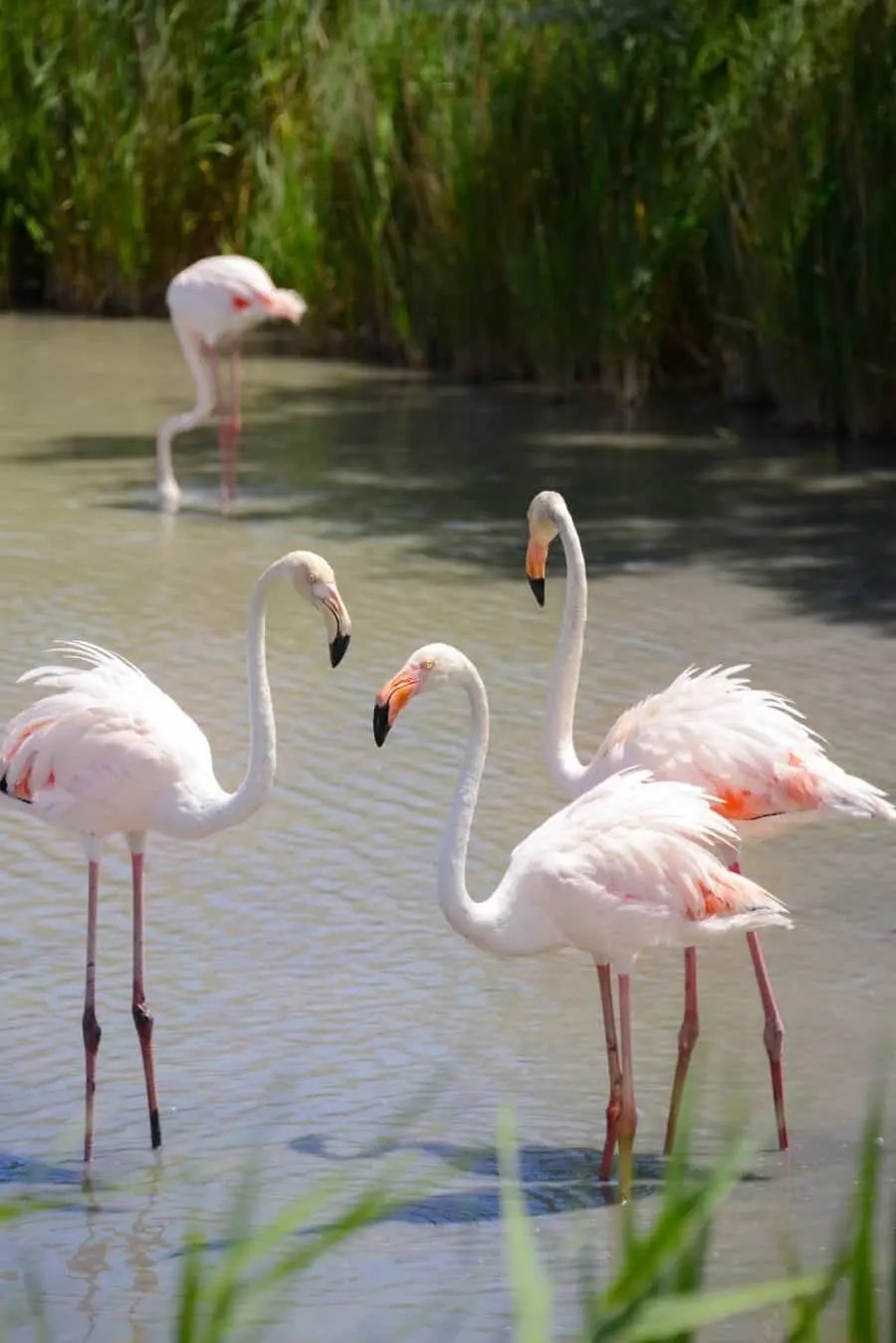 Flamingos in the Camargue - Places to Photograph in Provence, France