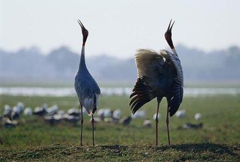 keoladeo-ghana-national-park-crane