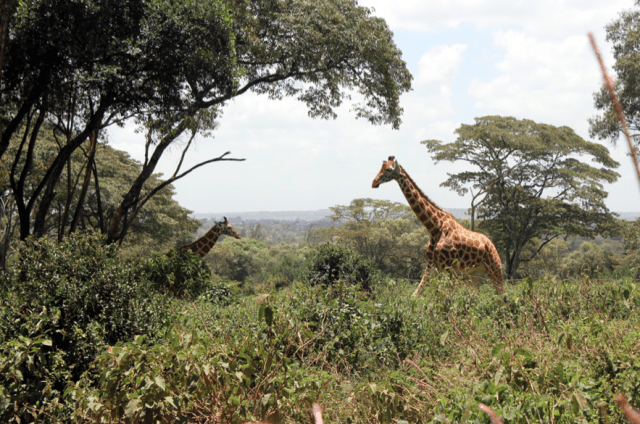Giraffe Center, Nairobi, Kenya