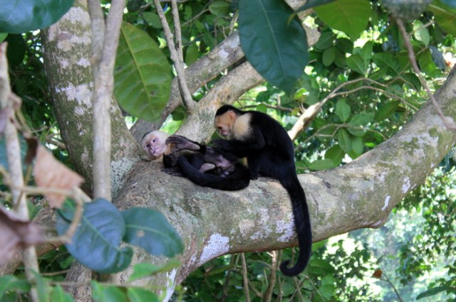 Monkeys at Manuel Antonio National Park, Costa Rica