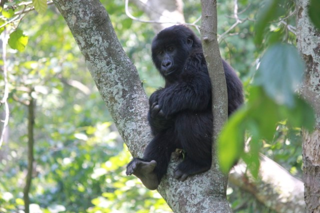 Senkwekwe Gorilla Orphanage, Virunga National Park