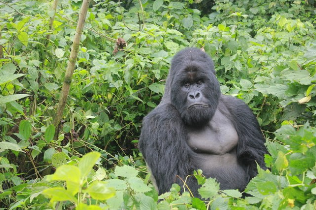 Gorilla Trekking in Africa, Virunga National Park