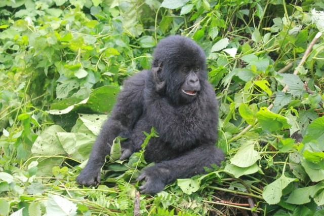 Gorilla trekking in the DRC - my #1 wildlife moment to date.