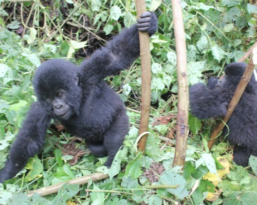 Gorilla Trekking in the Congo, Virunga National Park