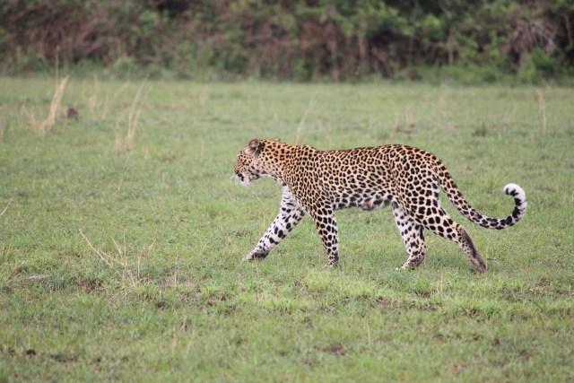 Leopard on Safari in Queen Elizabeth National Park, Uganda