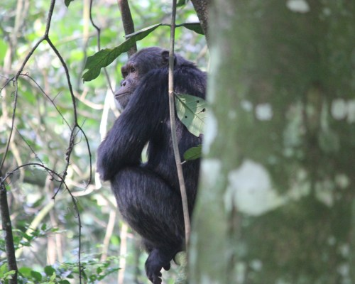 Chimp Trekking in Uganda