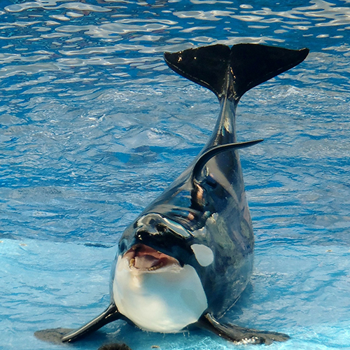 Captive orca with collapsed dorsal fin