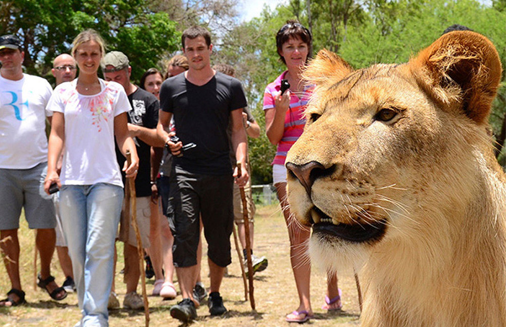 Walk with the lions at the Casela Nature and Leisure Park. www.theweddingnotebook.com
