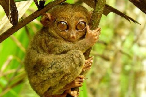 amorita-resort-5c-tarsier-sanctuary-corella