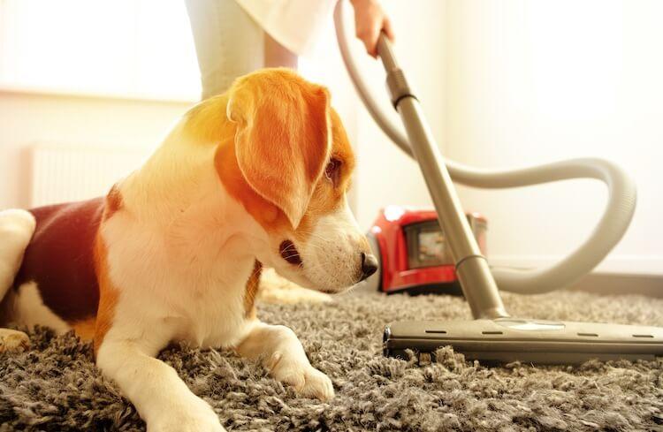 dogs pets carpet
