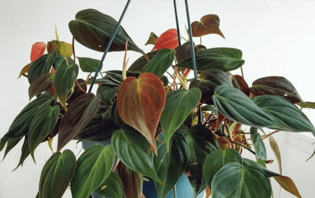 s&n shop philodendron micans