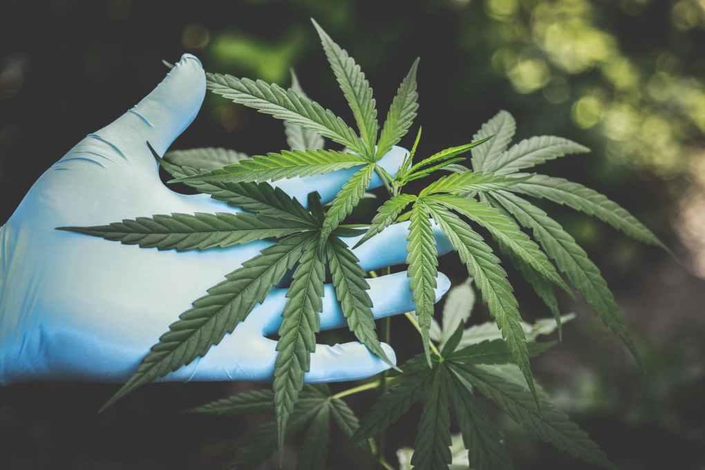 Medicinal-Cannabis-Australia-TheWeed.Blog
