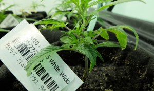 Tracking pot plants from birth to death: Will California's new ID program reduce black market sales?