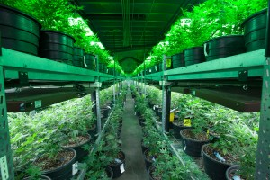 REPORT: Licensed cannabis growers have ties to organized crime
