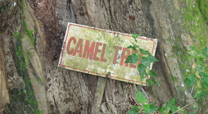 Jimenez, Misamis Occidental - Camel Tree up close