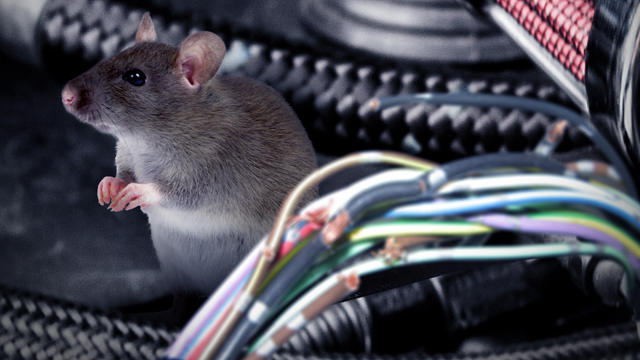Rats eating engine wiring are an increasing problem for vehicles owners.