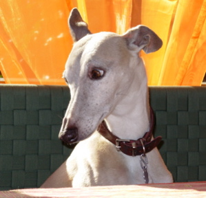 7 Whippet Personality Traits