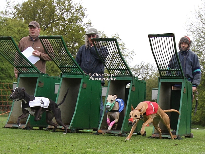 WCRA Championship - Whippets coming out of the traps
