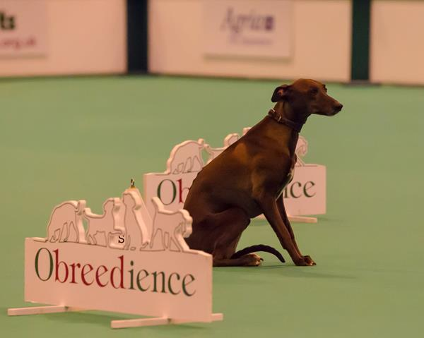 Whippet dog doing obedience at Crufts