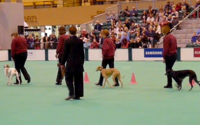 The Whippet Club Limited Obedience Show – September 2016