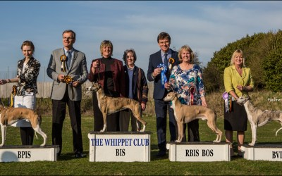 Critique from The Whippet Club Championship Show 2nd April 2016