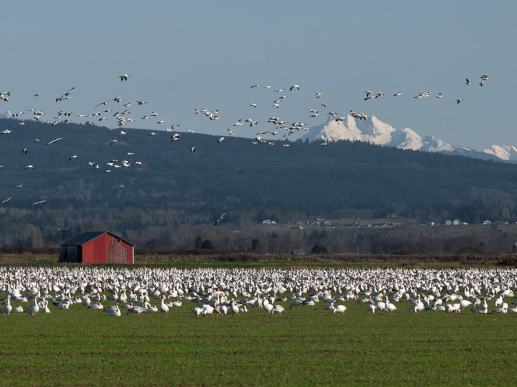 Snow Geese Landing on Fir Island field