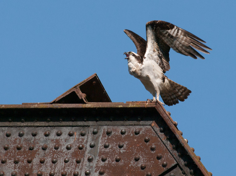 Osprey on Ballard Locks Train Bridge