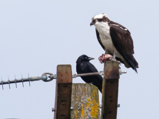 Osprey with fish and interested crow